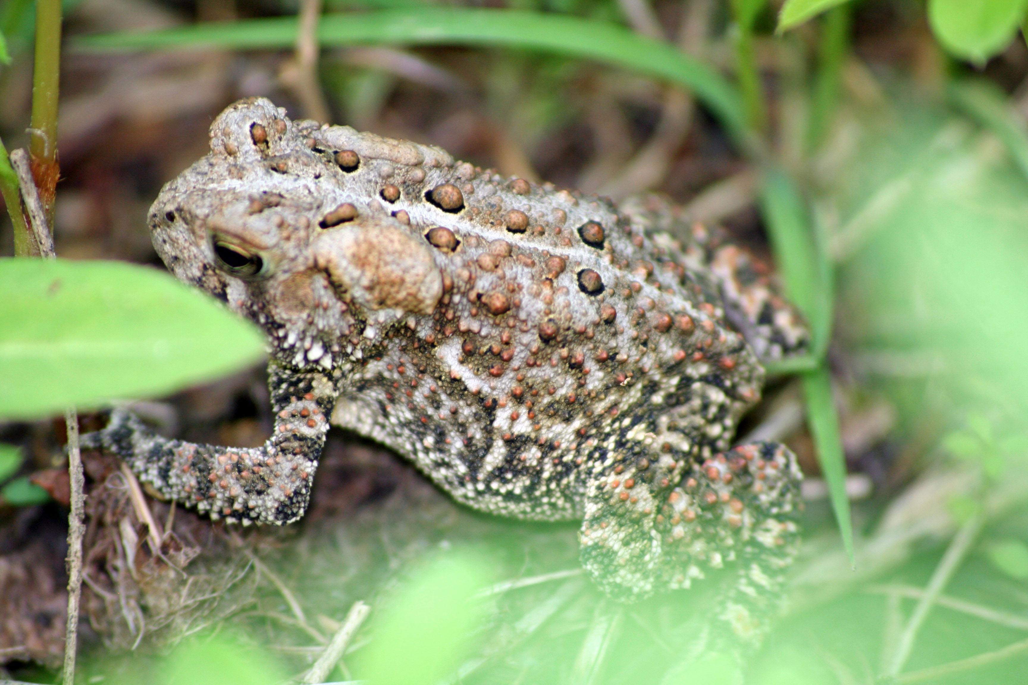 Backyard Frogs frogs – backyard ecology challenge