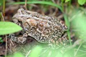 Bufo americanus or American toad