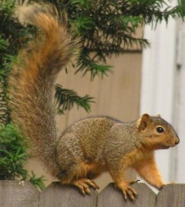 Sciurus_niger_(on_fence)