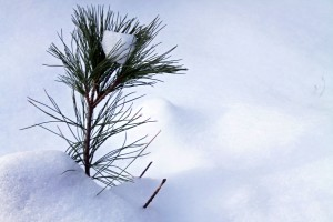 White pine seedling in snow