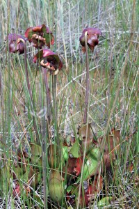 Lake Huron pitcher plants