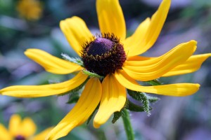 Black-eyed Susan growing in Lola Valley Park