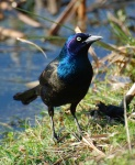 Grackle image courtesy of Ironphoenix.org