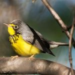 Kirtland's warbler image courtesy of Creative Commons