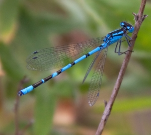 """Common"" blue damselfly (courtesy creative commons)"