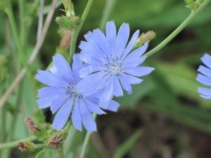 Chicory_(Cichorium_intybus)